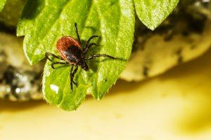 Kleszcze – jak się przed nimi chronić i jak usuwać?